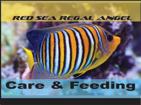 Regal Angel (Red Sea) - Care & Feeding
