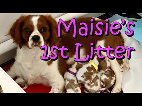 Cavalier King Charles Spaniel Pregnancy Birth UK  Maisie's 1st Litter Puppies Dogs