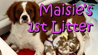 Cavalier King Charles Spaniel Birth Maisie's 1st Puppies