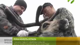 Защита от сибирской язвы. Почти 40% оленей на Ямале уже привиты