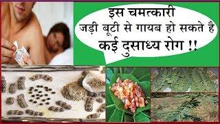 इस चमत्कारी जड़ी बूटी से गायब हो सकते है, कई दुसाध्य रोग !!