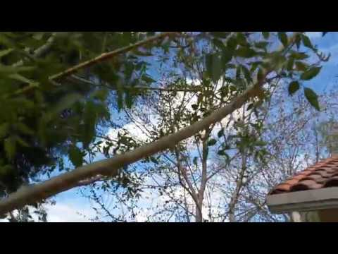 Ash Tree Ash Fly Queen Creek AZ  480 969 8808 Warner's Tree Surgery 2132018