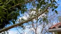Ash Tree Ash Fly Queen Creek AZ  480 969 8808 Warner's Tree Surgery 2132018