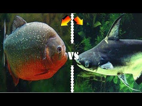 PİRANHA SÜRÜSÜ VS KÖPEK BALIĞI !!! - Canavar Balıklar