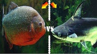 PİRANHA SÜRÜSÜ VS KÖPEK BALIĞI !!! - Canavar Balıklar thumbnail