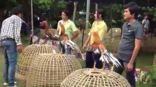 งานประกวดไก่ มน 2555 เหลืองหางขาว