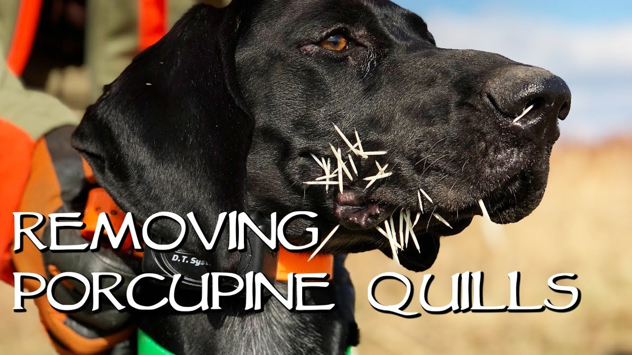 Removing Porcupine Quills - YouTube
