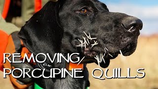 Removing Porcupine Quills