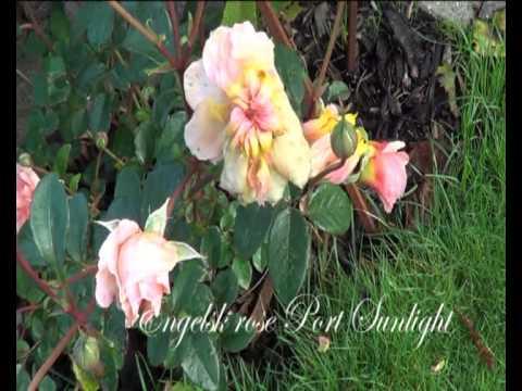 Oktober-roser fra Eventyr Haver af Annette Lund Andersen