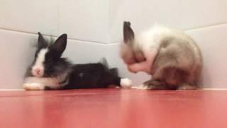 видео Декоративные львиноголовые кролики: спаривание