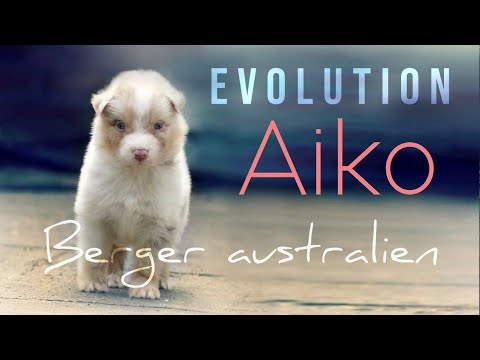 Forever in my heart ♥ | Evolution Aiko chiot berger