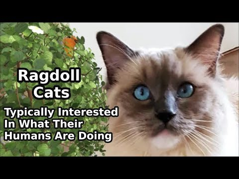 Ragdoll Cats Are Typically Interested In What Their Humans Are Doing