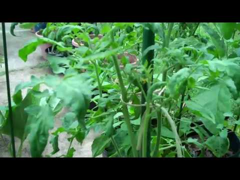 June 30 Driveway Indeterminate Tomato update