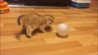 Золотой британский котенок