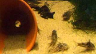 Cover images Schabracken Panzerwels - Corydoras barbatus