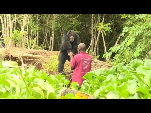 Helping Ponso, sole survivor of I. Coast's 'Chimpanzee Island'