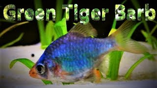 Green Tiger Barb Tank