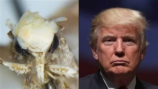 Trump's Hair Inspires Name for Moth
