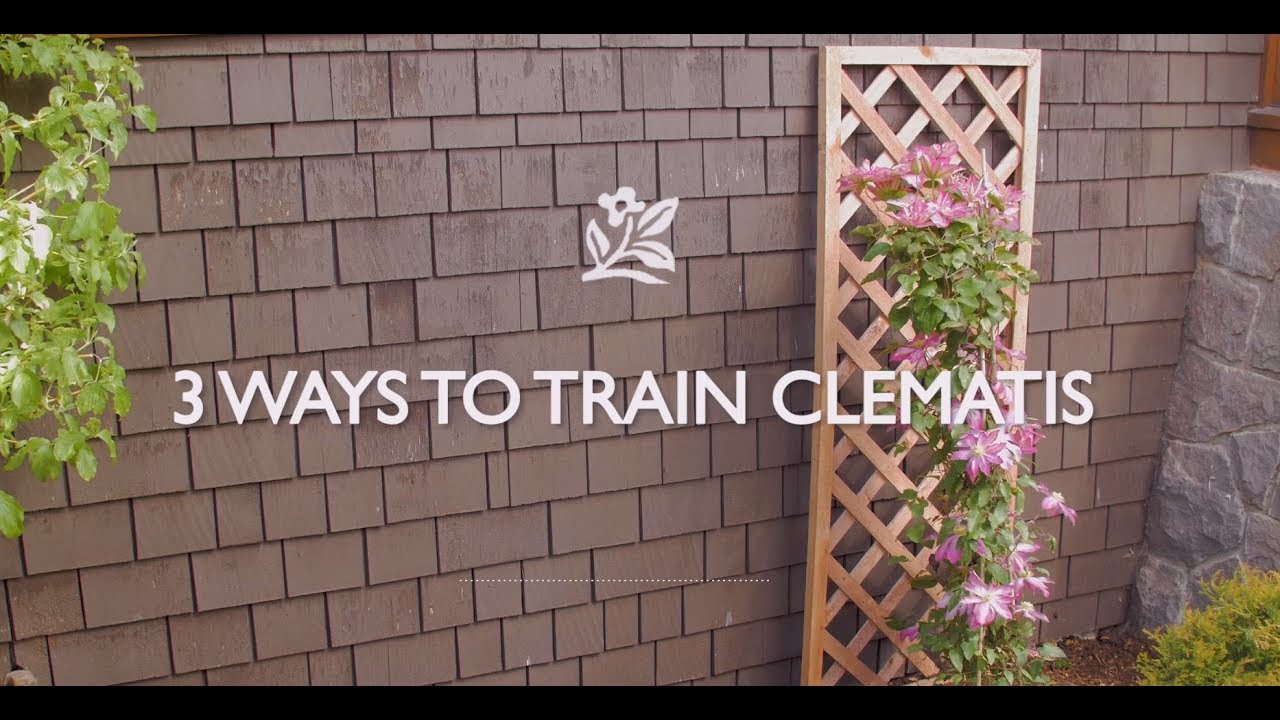 How To Train Clematis