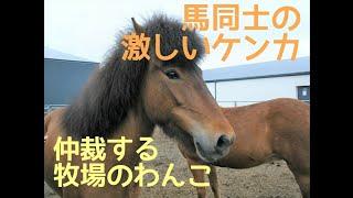馬の喧嘩を止めようとする犬 inアイスランド 白い毛の馬が黒い毛の馬を...