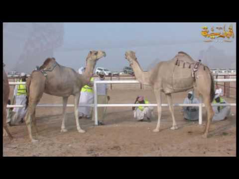 مهرجان قطر للاصايل الثاني عشر 2016 اليوم السابع -قناة الباديه