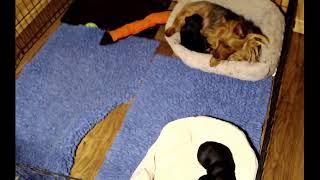 Dunham Lake Australian Terrier Puppies born January 24, 2021.