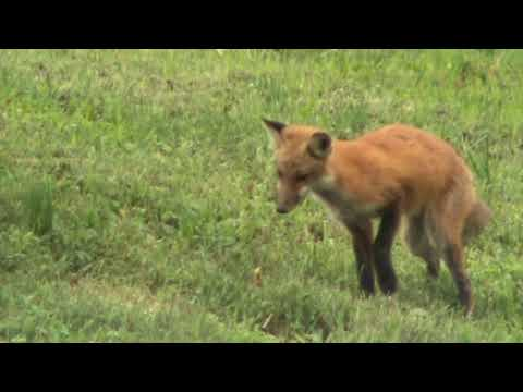 Young red fox explore their environments in Pennsylvania