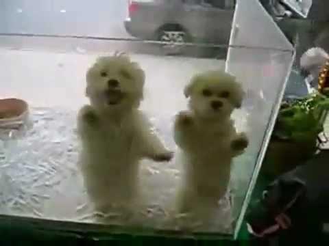 perros chistosos bailando merengue  YouTube