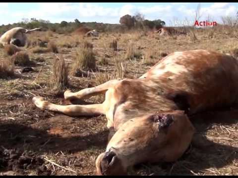 """All our cattle are dead!"" Aftermath of Kenyan government operation in Laikipia County"