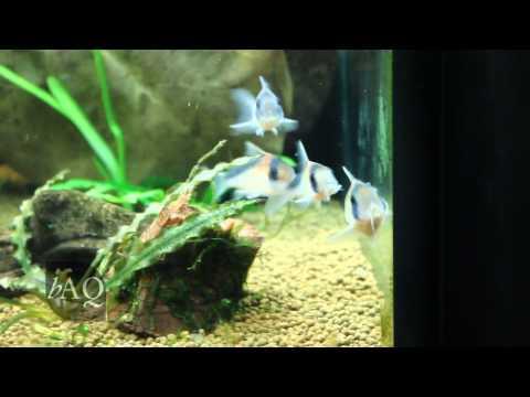 Corydoras Breeding Behavior