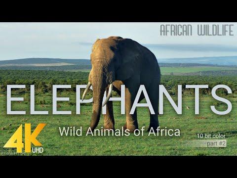 4K African Wildlife: Elephants. Part #2 – Wild Animals Video from Africa – 10 bit color