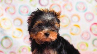 Купить щенка йоркширского терьера / Щенок йорка