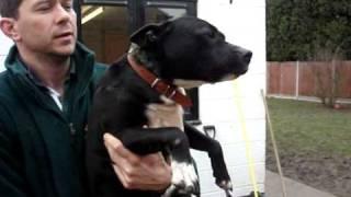 Cracker Staffordshire Bull Terrier Avaliable For Adoption