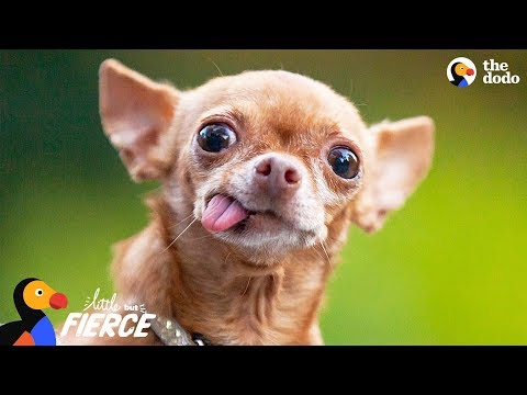 Cranky Little Dog Doesn't Want To Share His Dad With Anyone | The Dodo Little But Fierce