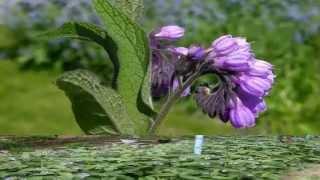 Живокост или окопник. Лекарственные травы