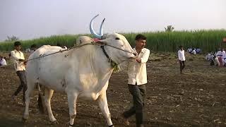 Terabandi race   Paramananda prasan sakin Suthbandi bulls