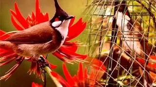 Tiếng chim chào mào hót để bẫy file mp3 làm mồi tại vihuni.com