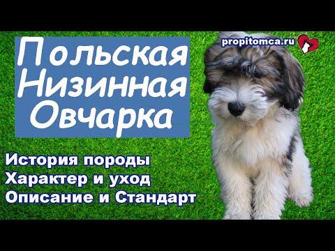 Польская низинная овчарка - милая кудрявая порода собак
