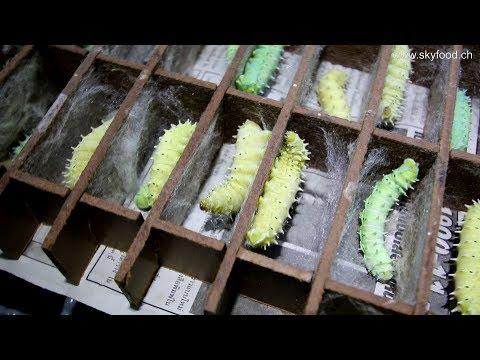 Samia ricini - Nr. 1 urban farming insect