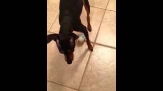 Miniature Pinscher, Dog, ( Peanut) Eating Peanut Butter