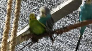 Horny Parrots Sex 1 (Angle 2)