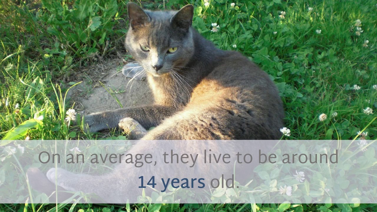 13 Surprising Facts You Should Know About Russian Blue Cat