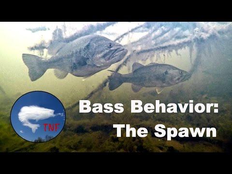 Largemouth Bass Behavior: The Spawn