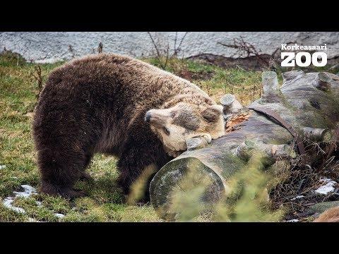 Early spring woke up Helsinki Zoo brown bears again (Ursus arctos arctos)