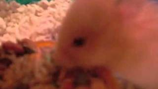 Our baby hamster Jax having a munch.