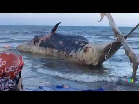 Toàn cảnh cá voi chết sình trôi dạt vào bờ biển Diễn Thịnh, Nghệ An