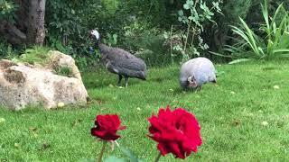 Цесарки на зеленом лугу среди роз! Тайган