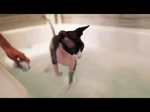 How high maintenance is a sphynx cat?? | The Dark Lord