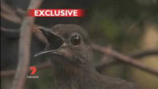 This Bird can copy the sound of everybody including Human - ...