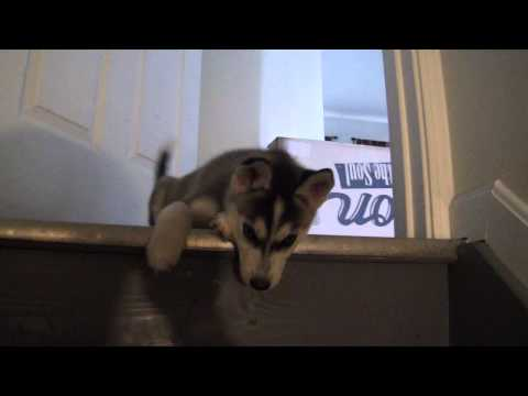 Dog Vs Cat Teaching Stairs